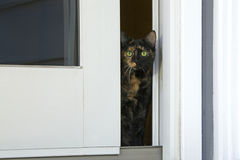 Tortie tabby cat peaking out a sliding glass door Royalty Free Stock Images