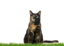 Tortie Tabby Cat sitting in grass isolated on white background Royalty Free Stock Photos