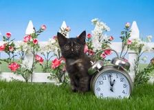 Tortie tabby kitten daylight savings concept in garden. One small cute tortie kitten sitting in green grass with white picket fence, red and white spring flowers Royalty Free Stock Image