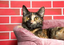 Tortie torbie kitten laying in bed looking to viewers left royalty free stock photo