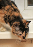 Tortie with white cat Stock Photos