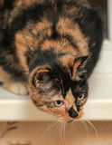 Tortie with white cat Stock Images