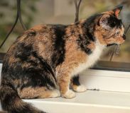 Tortie with white cat Royalty Free Stock Photography