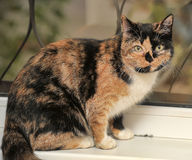 Tortie with white cat Royalty Free Stock Photos