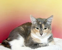 Tortie and white domestic short hair kitten. Laying on sheepskin looking down in front, pink and yellow textured background. Vibrant colors. Copy space Stock Images