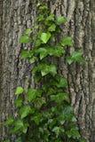 Tortillez le lierre sur un arbre dans une forêt Photos libres de droits