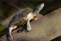 Tortise s'exposant au soleil Images stock