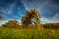 Torto severamente e Bent Coastal Oak Tree Fotografie Stock Libere da Diritti