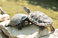 Tortoice Stock Photography