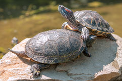Tortoice Royalty Free Stock Photo
