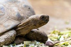 Tortoise żółw karmi bardzo zrelaksowanego zdjęcie stock