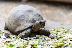 Tortoise żółw karmi bardzo zrelaksowanego zdjęcia stock