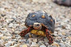 Tortoise έξω Στοκ Φωτογραφίες