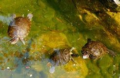 Tortoise κοντά στη λίμνη Στοκ Εικόνες