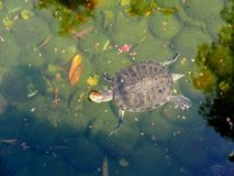 Tortoise κοντά στη λίμνη Στοκ Εικόνα