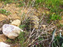 Tortoise με τους βράχους ρυμούλκησης Στοκ Εικόνες