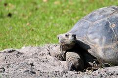 Tortoise που κοιτάζει μακριά στοκ φωτογραφίες