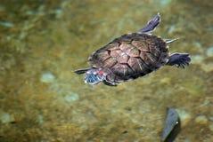 Tortoise που κολυμπά στο ύδωρ Στοκ Εικόνες