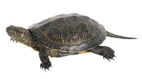 Tortoise σε ένα άσπρο υπόβαθρο. Στοκ φωτογραφία με δικαίωμα ελεύθερης χρήσης