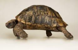 Tortoise στην άσπρη ανασκόπηση Στοκ Φωτογραφία