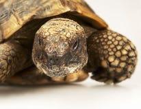 Tortoise στην άσπρη ανασκόπηση Στοκ εικόνα με δικαίωμα ελεύθερης χρήσης