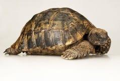 Tortoise στην άσπρη ανασκόπηση Στοκ φωτογραφίες με δικαίωμα ελεύθερης χρήσης