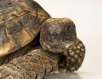 Tortoise στην άσπρη ανασκόπηση Στοκ Εικόνα