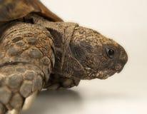 Tortoise στην άσπρη ανασκόπηση Στοκ φωτογραφία με δικαίωμα ελεύθερης χρήσης