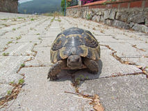 Tortoise στην πορεία Στοκ φωτογραφίες με δικαίωμα ελεύθερης χρήσης
