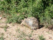 Tortoise στη Νότια Αφρική Στοκ Εικόνα
