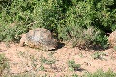 Tortoise στη Νότια Αφρική Στοκ Φωτογραφία