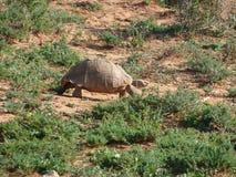 Tortoise στη Νότια Αφρική Στοκ φωτογραφία με δικαίωμα ελεύθερης χρήσης