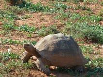 Tortoise στη Νότια Αφρική Στοκ Εικόνες