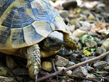 Tortoise 1 Royalty Free Stock Images