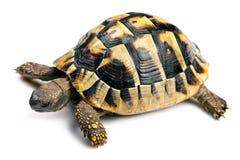 Tortoise fotografia stock libera da diritti