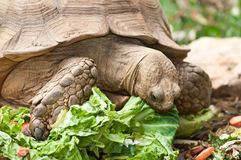 Tortoise. Large tortoise eating his lunch of lettuce and vegetables stock image