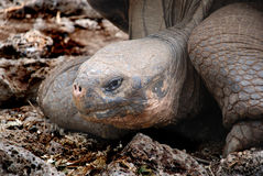 Tortoise. The giant Tortoise can be found on the Galapagos islands Royalty Free Stock Images