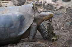 Tortoise. The land Tortoise is a very large reptile that lives throughout the Galapagos islands Stock Photos
