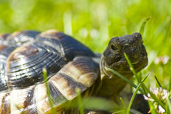 Tortoise. Little tortoise in the green grass Royalty Free Stock Image