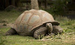 Tortoise fotografie stock