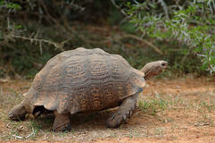 Tortoise. Active mountain tortoise - Bergskilpad - Geochelone pardalis or Leopard Tortoise moving showing action in a game park in South Africa Royalty Free Stock Photos