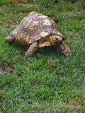 Tortoise. Exotic Tortoise Walking On Grass royalty free stock photos