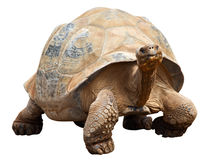 Tortoise. Giant tortoise isolated by clipping path royalty free stock image