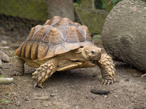Tortoise Royalty Free Stock Photography
