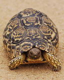 Tortoise. Small Leopard Tortoise walking on the road royalty free stock image