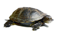 Tortoise Royalty Free Stock Image