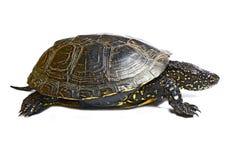 Tortoise. Isolated on white background Royalty Free Stock Image