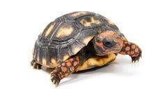 Tortoise Royalty Free Stock Photography