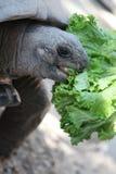 Tortoise. Eating crunchy lettuce for lunch Stock Image