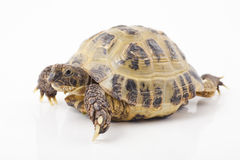 Tortoise. Russian tortoise on a shite background, Focus is shallow Stock Photo